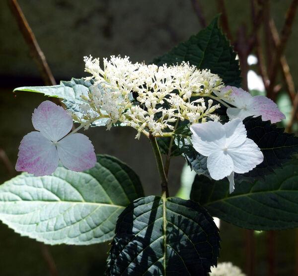 Hydrangea serrata (Thunb.) Ser. 'Macrosepala'