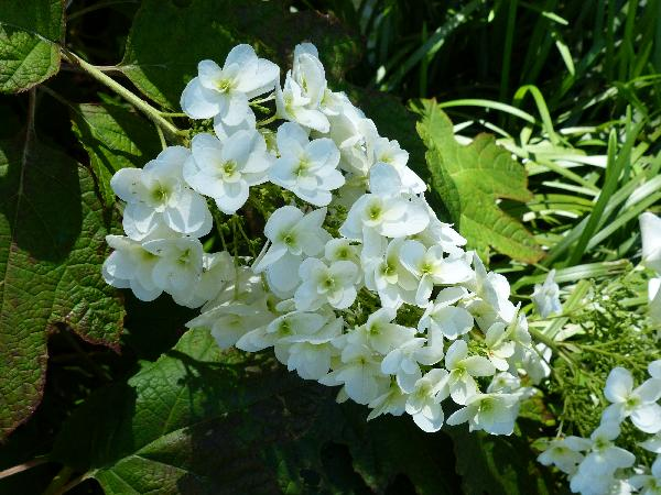 Hydrangea quercifolia Bartr. 'Snow Giant'
