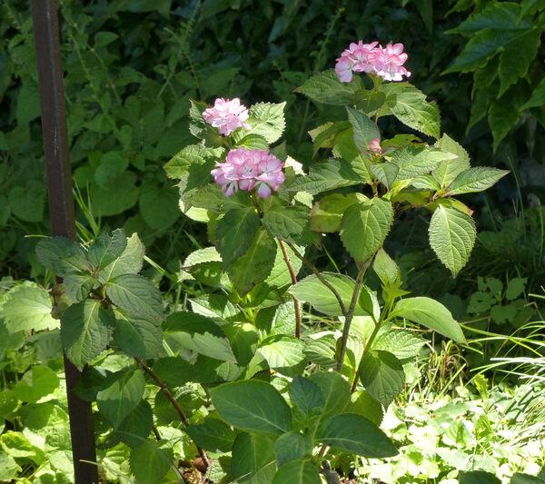 Hydrangea macrophylla (Thunb.) Ser. 'Mirai'
