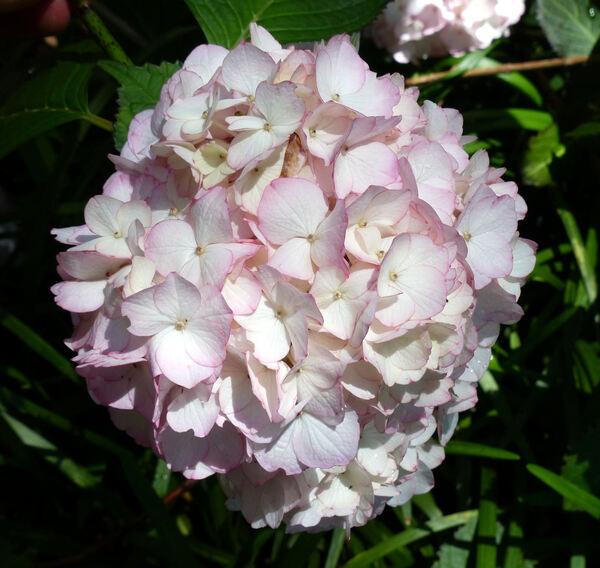 Hydrangea macrophylla (Thunb.) Ser. 'Sabrina ®'