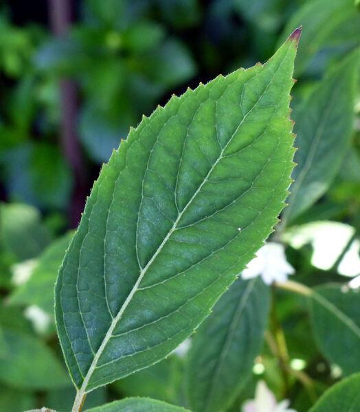Hydrangea serrata (Thunb.) Ser. 'Stellata'