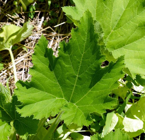 Cucurbita pepo L. 'Bianca Triestina'