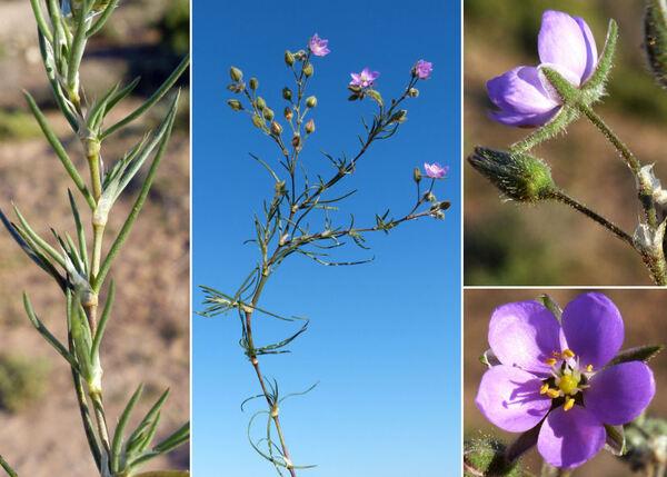 Spergularia fimbriata Boiss. & Reuter