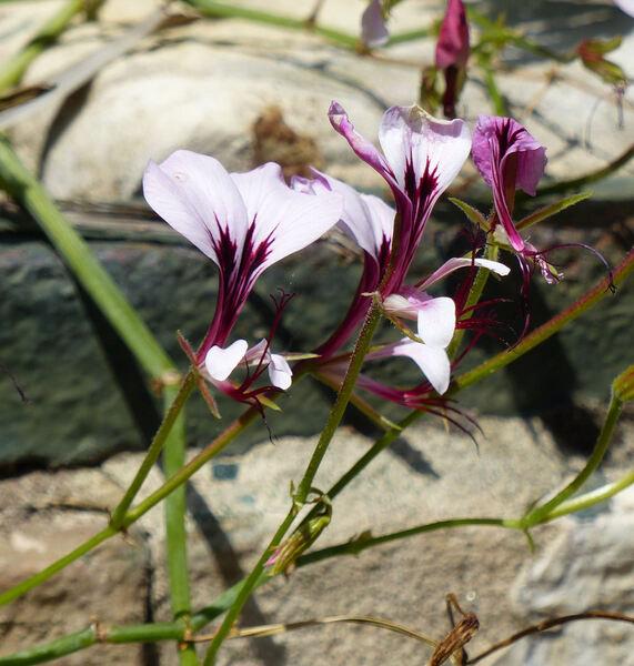 Pelargonium tetragonum L'Hér.