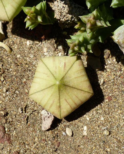 Orbea variegata (L.) Haw.