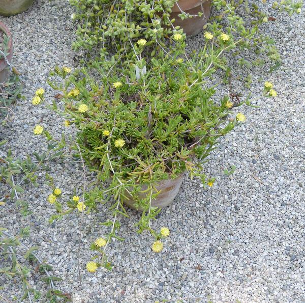 Lampranthus aureus (L.) N.E.Br.