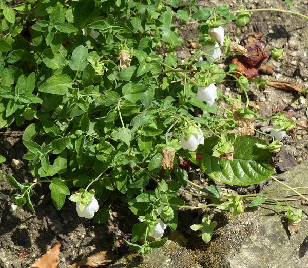 Codonopsis pilosula (Franch.) Nannf. subsp. tangshen (Oliv.) D.Y.Hong