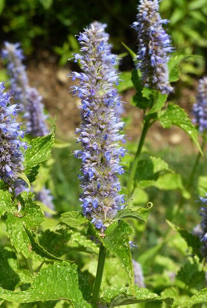Agastache foeniculum (Pursh) Kuntze