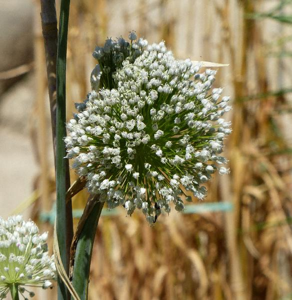 Allium porrum L.