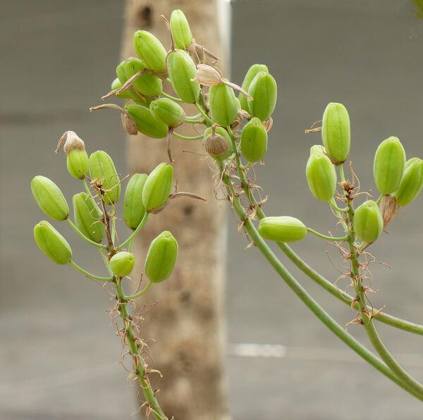 Aloë maculata All.
