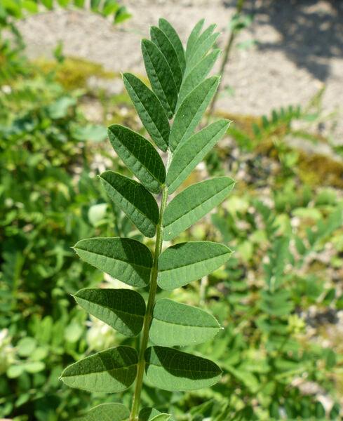 Astragalus crassicarpus Nutt. var. trichocalyx (Nutt.) Barneby
