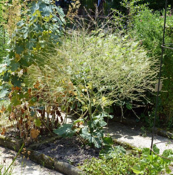 Crambe cordifolia Steven