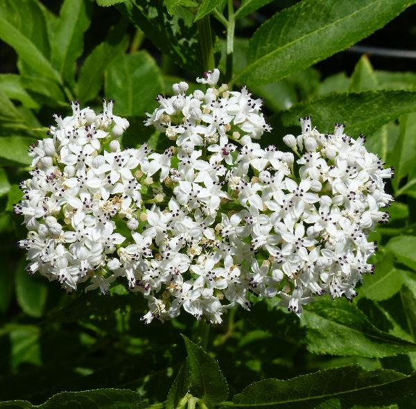 Sambucus ebulus L.