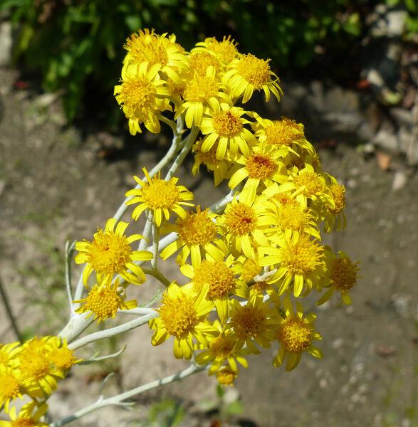 Tephroseris longifolia (Jacq.) Griseb. & Schenk subsp. longifolia