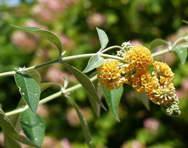 Buddleja x weyeriana Weyer 'Sun Gold'