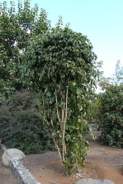 Polyscias paniculata (DC.) Baker