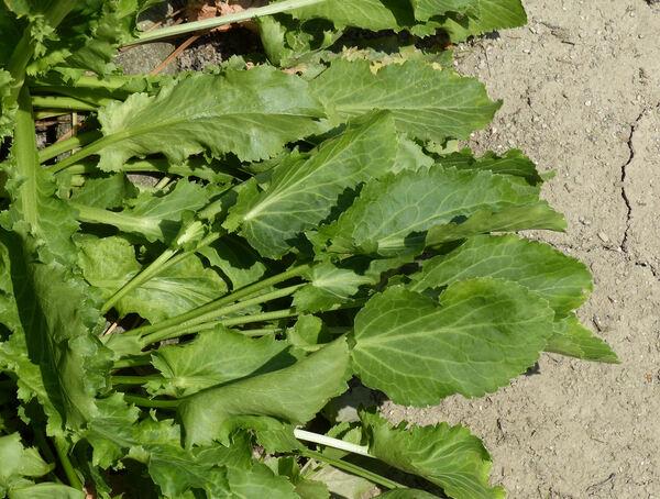Eryngium caucasicum Trautv.