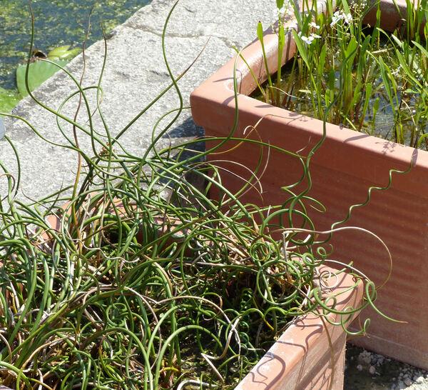 Juncus effusus L. 'Spiralis'