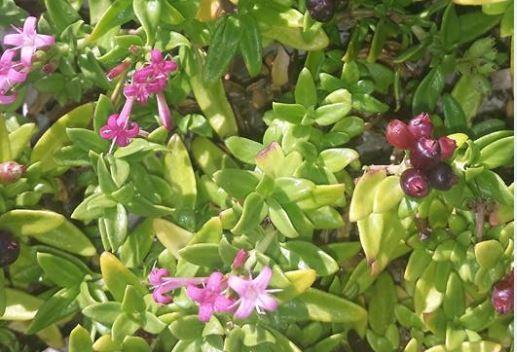 Plocama calabrica (L.f.) M.Backlund & Thulin