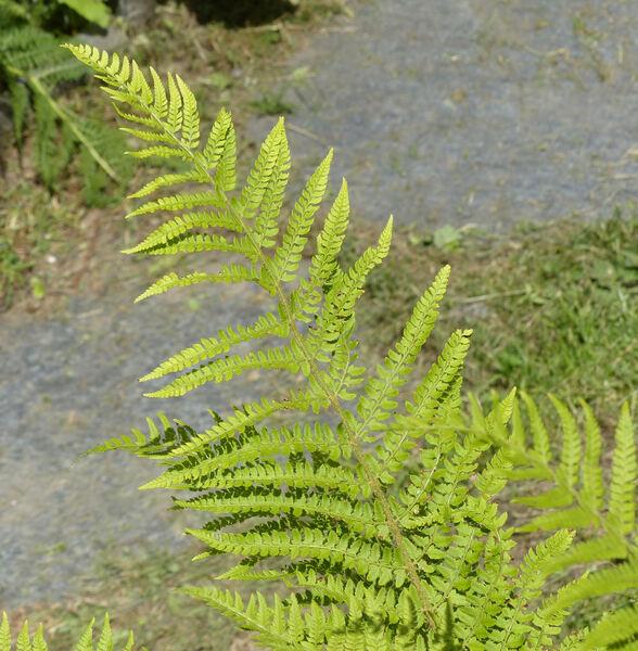 Polystichum setiferum (Forssk.) T.Moore ex Woyn.