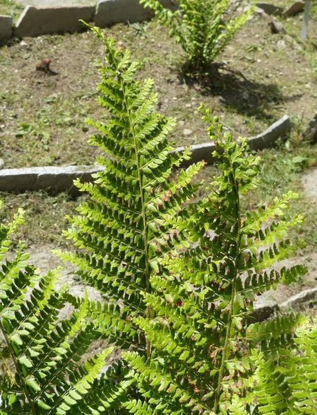 Dryopteris affinis (Lowe) Fraser-Jenk. subsp. affinis