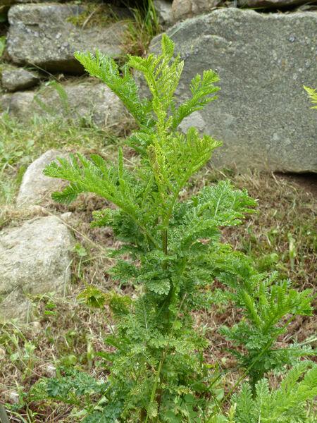 Tanacetum vulgare L. 'Crispum'