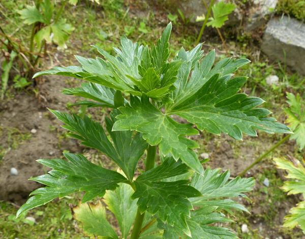 Aconitum carmichaelii Debeaux 'Arendsii'