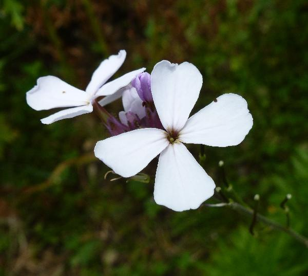 Hesperis matronalis L. subsp. matronalis