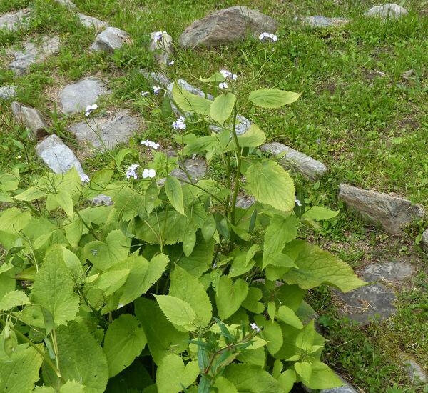 Lunaria rediviva L.