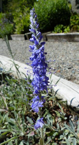 Veronica spicata L. subsp. incana (L.) Walters