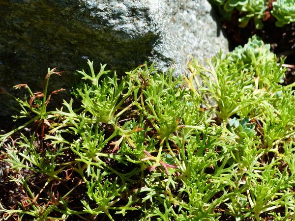 Saxifraga canaliculata Boiss. & Reut. ex Engl.