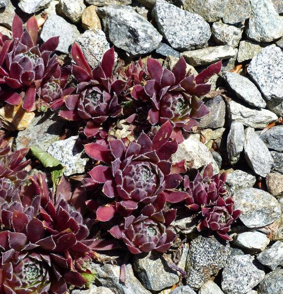 Sempervivum tectorum L. 'Rubin'