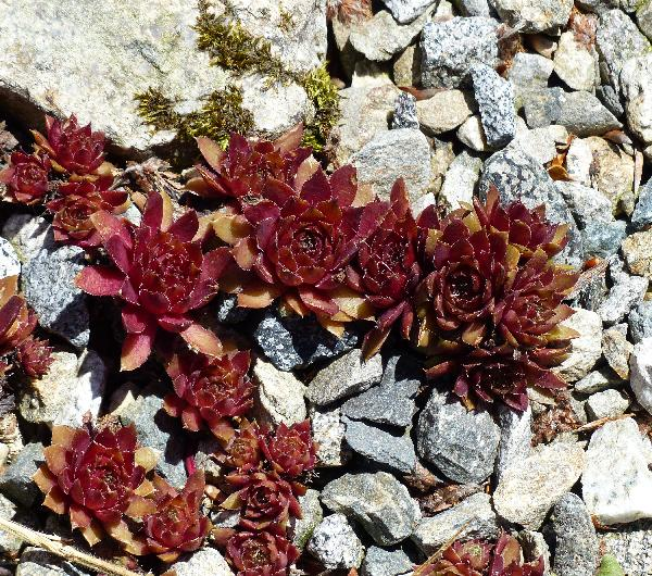 Sempervivum 'Granat'