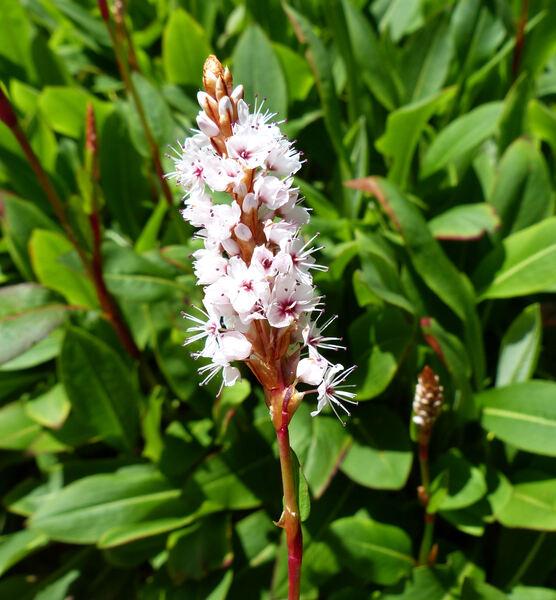 Bistorta affinis (D.Don) Greene 'Dimity'