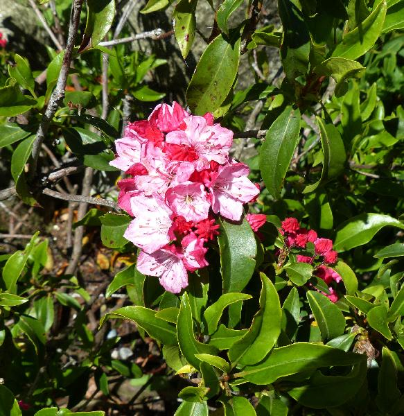 Kalmia latifolia L. 'Heart of Fire'