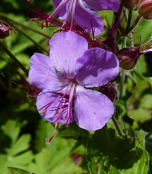 Geranium x cantabrigiense Yeo 'Karmina'