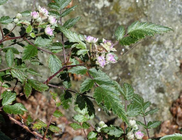 Rubus thibetanus Franch.