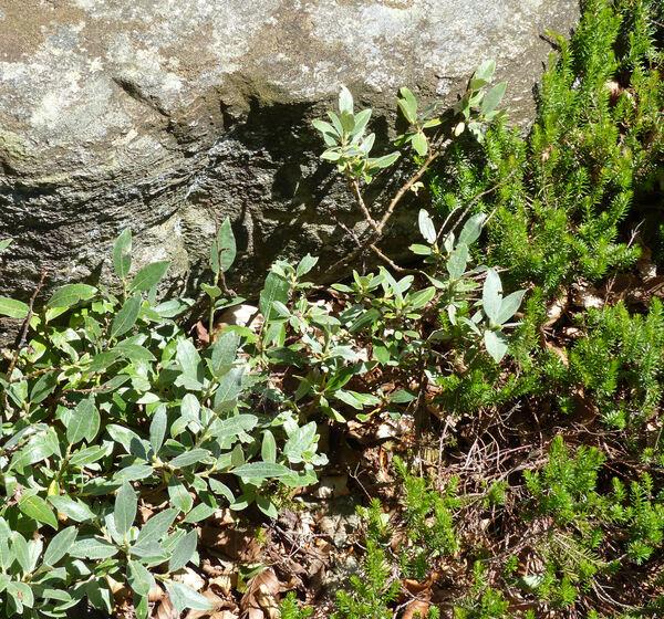 Salix helvetica Vill.