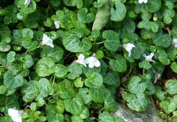 Cymbalaria hepaticifolia (Poiret) Wettst.