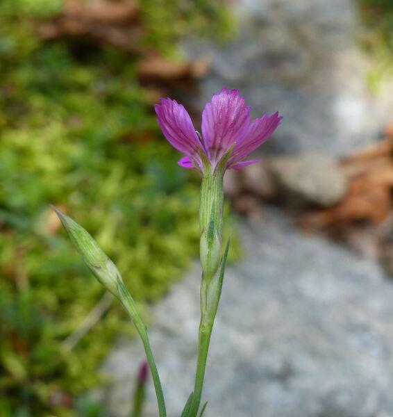 Dianthus myrtinervius Griseb.
