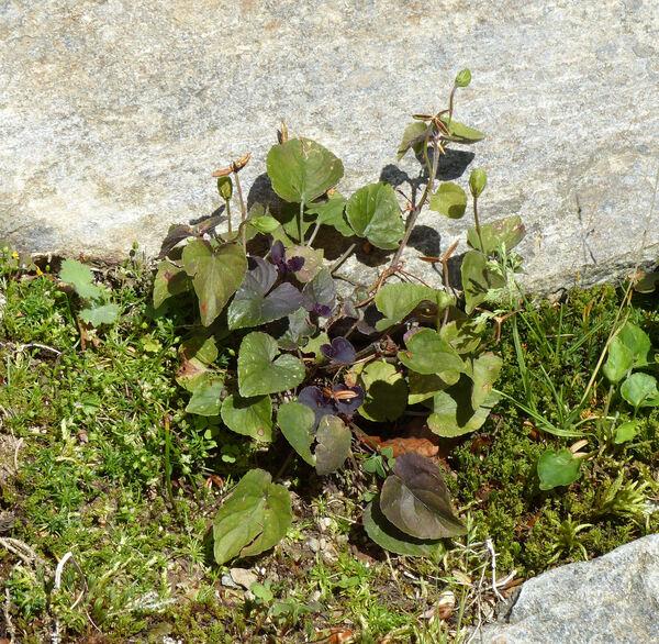 Viola labradorica Schrank