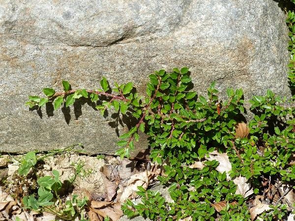 Cotoneaster adpressus Bois