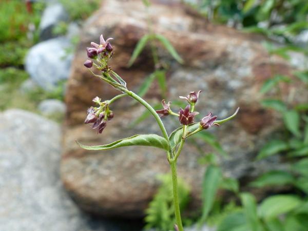 Vincetoxicum sp.