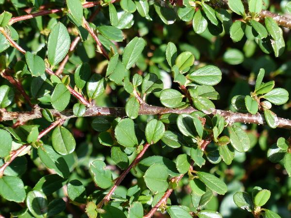 Cotoneaster dammeri C.K. Schneid. 'Frieders Evergreen'