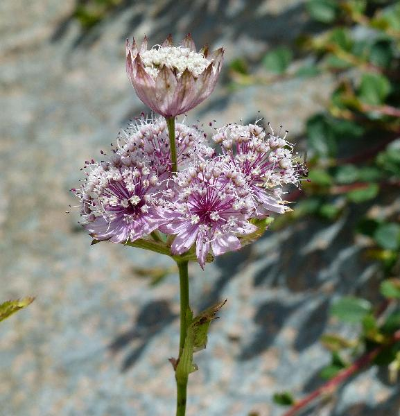 Astrantia major L. 'Rosea'