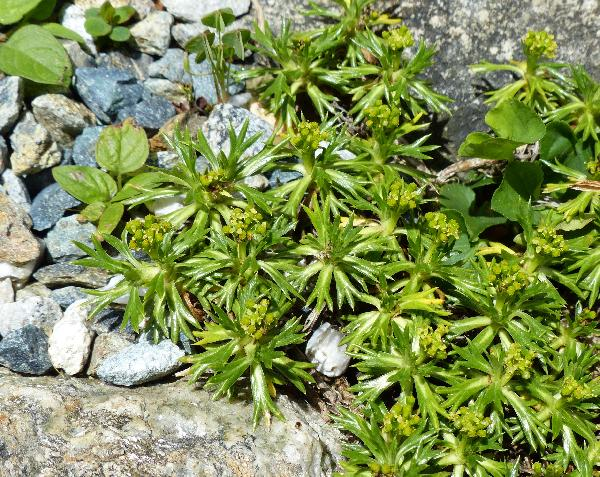 Azorella trifurcata (Gaertn.) Pers.
