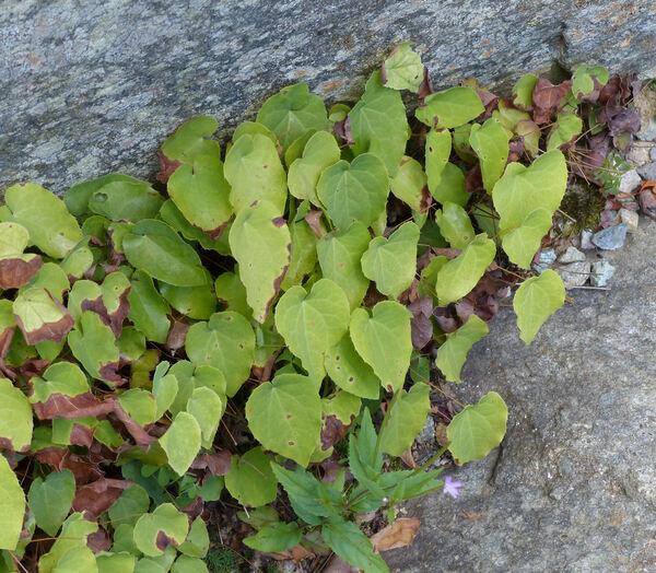 Epimedium perralderianum Coss. 'Frohnleiten'