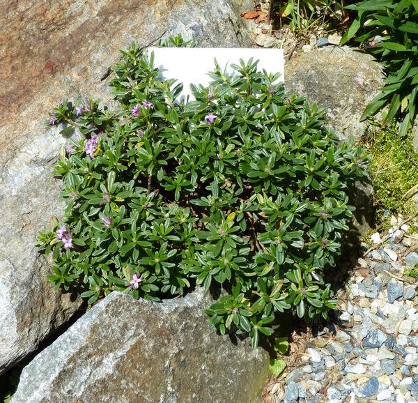 Daphne × susannae C.D. Brickell 'Anton Fahndrich'