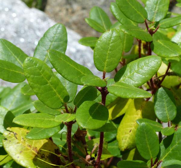 Rhododendron campylocarpum Hook. f.