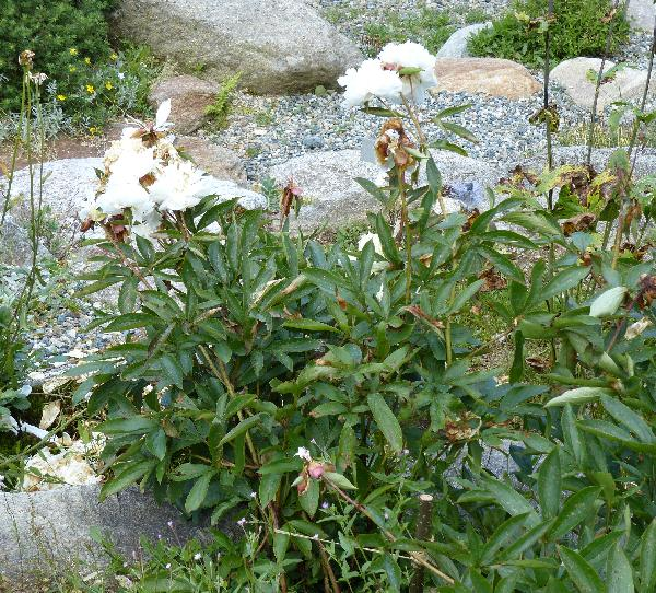 Paeonia lactiflora Pall. 'Kelway's Glorious'